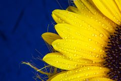 Colorful flower copyspace background . Macro shot of yellow sunflower bloom with water drops Stock Photos
