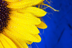 Colorful flower copyspace background . Macro shot of yellow sunflower bloom with water drops Royalty Free Stock Photography