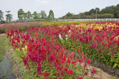 Colorful flower farm Stock Image