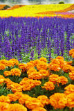 Colorful flower field Royalty Free Stock Photo
