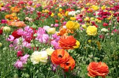 Colorful flower field. Deep Colorful flower field multicolor Royalty Free Stock Image