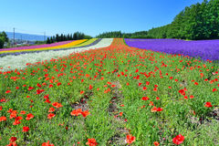 Colorful flower field, Hokkaido, Japan. Irodori field, Tomita farm, Furano, Japan. It is the famous and beautiful flower fields in Hokkaido Stock Photos