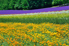 Colorful flower field, Hokkaido, Japan Royalty Free Stock Image