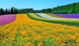 Colorful flower field, Hokkaido, Japan. Irodori field, Tomita farm, Furano, Japan. It is the famous and beautiful flower fields in Hokkaido Stock Photo
