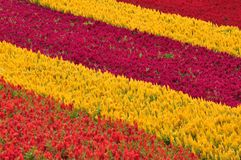Colorful flower field in Japan Stock Images