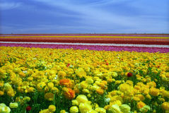 Colorful Flower Field Stock Photos