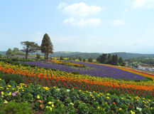 Colorful flower field under blue sky in the countryside of Biei Royalty Free Stock Photography