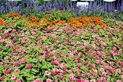 Colorful flower fields Filled with pink and orange of zinnia royalty free stock images