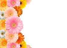 Colorful flower frame. Bright colored gerbera flowers on a white background royalty free stock images