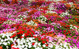 Colorful flower in garden Royalty Free Stock Images