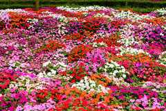 Colorful flower in garden Stock Image