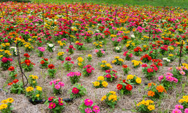 Colorful flower in garden Royalty Free Stock Photo