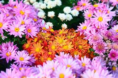 Colorful Flower Garden. A Colorful Flower in  Garden Stock Images