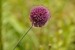 Single purple spikes flower Stock Image