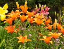 Colorful Flower Garden with Daylilies Stock Photography