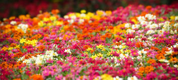 Colorful Flower In the garden Stock Photography