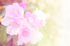 Colorful flower garlic vine as shallow style Royalty Free Stock Images