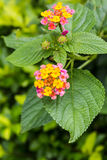 Colorful flower of Lantana, montevidensis, verbena, Common Lanta Royalty Free Stock Image