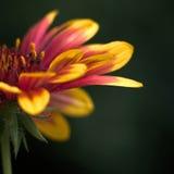 Colorful flower - Macro shot Stock Photo