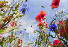 Colorful flower meadow Royalty Free Stock Images