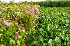 Colorful flower meadow and sugar beet field. In high summer Stock Photos