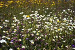 Colorful flower meadow Royalty Free Stock Image
