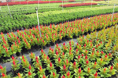 The colorful flower nursery field Stock Image