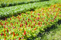 The colorful flower nursery field Royalty Free Stock Photos