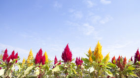 Colorful flower of Plumed Royalty Free Stock Photography