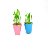 Colorful flower pots with green wheat isolated on white Royalty Free Stock Photo