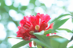 Colorful flower Rhododendron arboreum in spring time for backgro Stock Photography