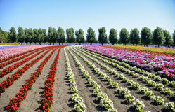 Colorful flower in the row. 3 Stock Images