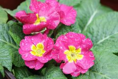 Close Up Pansy Pink Flower is Blooming in the Park. Colorful Flower in Summer Time to Brighten up the Day stock photo