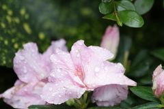 Close Up Rain Drop on Pink Flower in the Park. Colorful Flower in Summer Time to Brighten up the Day stock image