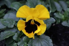 Close Up Pansy Yellow Flower is Blooming in the Park. Colorful Flower in Summer Time to Brighten up the Day royalty free stock photos