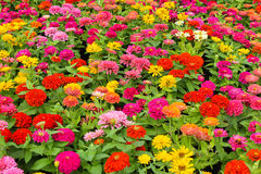 Colorful flower, Zinnia elegans Royalty Free Stock Image