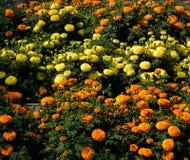 Marigold flowerbed royalty free stock photos
