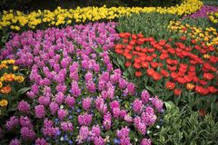 The Colorful flowerbed with tulips hyacinths and daffodils Stock Photo