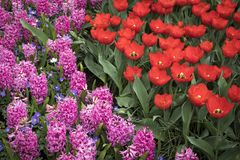 The Colorful flowerbed with tulips hyacinths and daffodils Royalty Free Stock Image