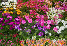 A colorful flowerbed with vibrant perennial plants. A colorful flowerbed with plenty differnt vibrant perennial plants like verbene, lewisia and others Stock Photography