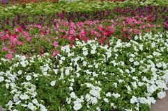 Colorful flowerbeds Petunia colorful flowers, Beautiful background.  royalty free stock images