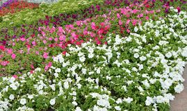 Colorful flowerbeds Petunia colorful flowers, Beautiful background.  royalty free stock photos