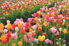 Colorful flowerfield of back lighted mixed tulips Royalty Free Stock Photos