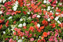 Colorful flowering begonias Stock Photography