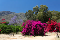Colorful flowering bougainvillea and jacaranda Stock Images
