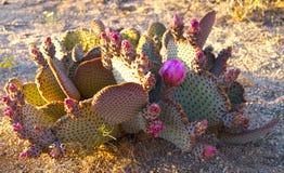 Colorful Flowering Cactus stock photos