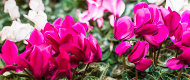 Colorful flowering Cyclamens Stock Photography