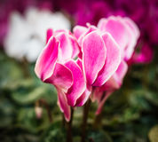 Colorful flowering Cyclamens Stock Photos
