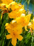 Colorful flowering of the daylily in the garden near Moscow royalty free stock photography