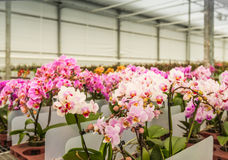 Rows of colorful blooming mature orchid plants ready for transpo Stock Photo